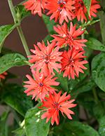 「七夕」の花は仙翁花